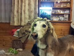 我が家の愛犬 リズです。