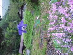 本日安曇野に旅行中。可愛いオダマキ見つけました。